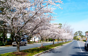 Ocean City Cherry Trees in Bloom!
