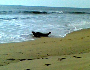Seal in Ocean City, MD